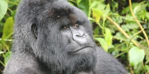 gorilla1_620x310